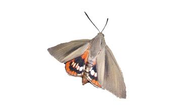 Papillon tueur de Palmiers